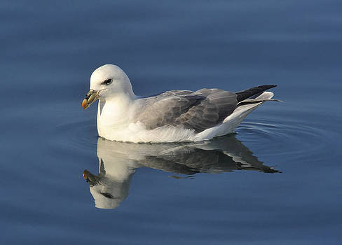 Northern Fulmar by Sigurdur Aegisson