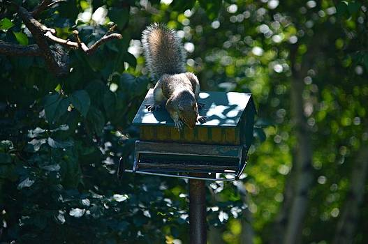 Northern Gray Squirrel by Sharon L Stacy