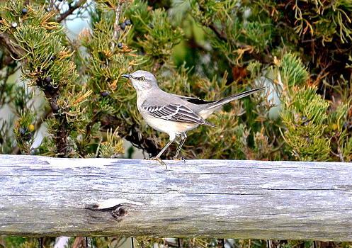 Northern Mockingbird by Lorelei Galardi