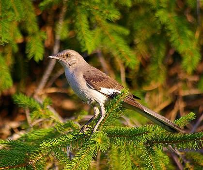 Northern Mockingbird  by Sean Murray