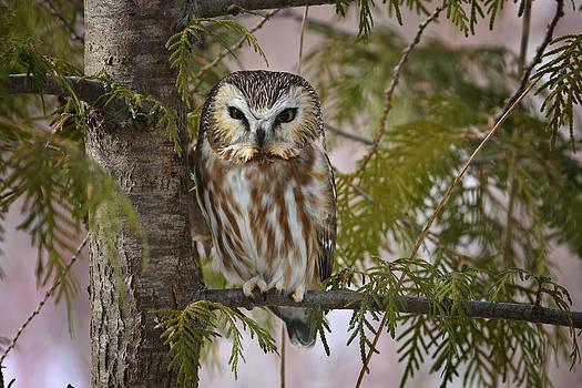 Gary Hall - Northern Saw Whet Owl