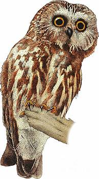 Roger Hall - Northern Saw Whet Owl