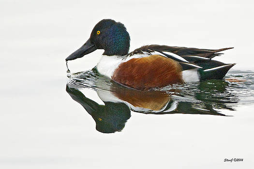 Northern Shoveler Drake At Ketring Lake by Stephen  Johnson