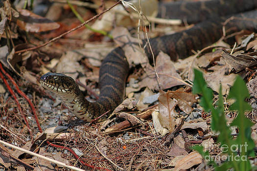 Northern Water Snake by Rebecca Brooks