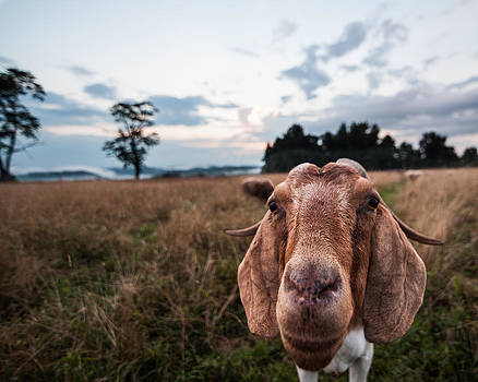 Nosey Goat by Vanden King