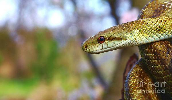Not So Bad - Japanese Ratsnake by J J  Everson