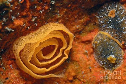 Nudibranches eggs by Sami Sarkis