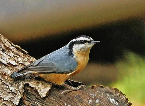 Nuthatch Pose by VLee Watson