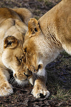 Nuzzling Lions by Jill Bell
