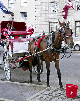 Leslie Cruz - NYC Carriage Horse