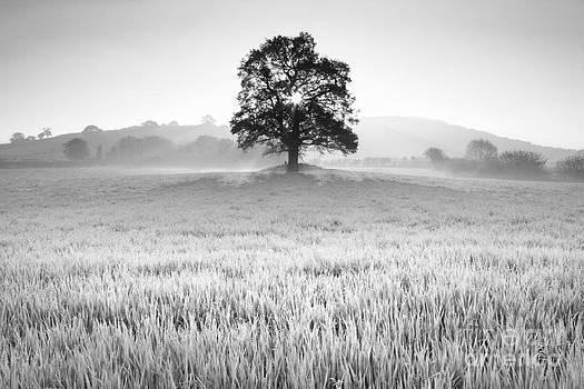 Oak in field by Derek Croucher