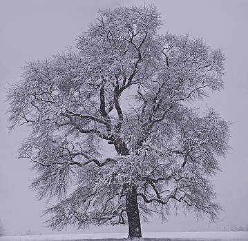 Oak in Snow by Don Perino