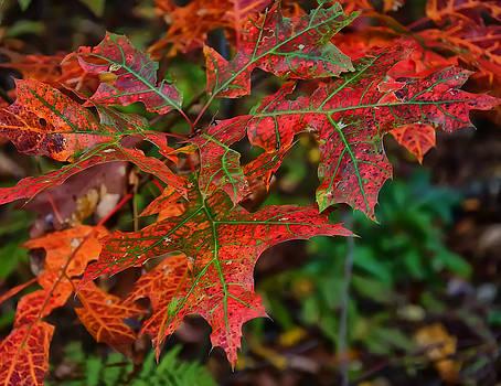 Chris Flees - Oak leaves fall