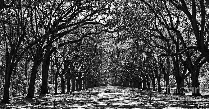 Oak Lined Lane by Melissa Sherbon