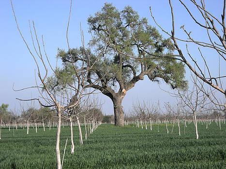 Oak Tree Guards Fruit by Marsha Ingrao