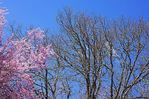 Baslee Troutman - Oak Trees Art Prints Pink Blossoms Blue Sky