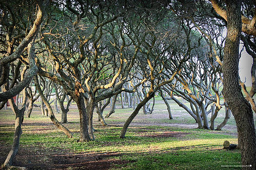 Oaks Of Fort Fisher by Phil Mancuso