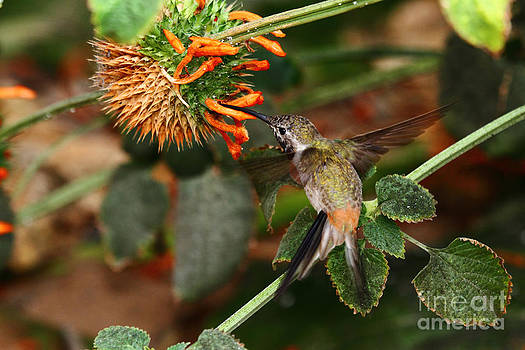 James Brunker - Oasis Hummingbird