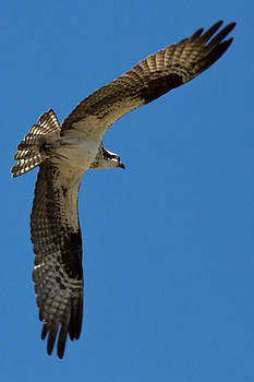 John Daly - Obtuse Osprey
