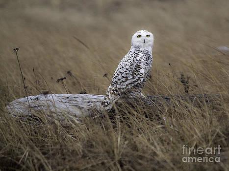 Tim Moore - Ocean Shores Snowy Owl