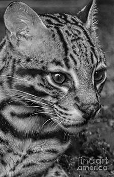 Ocelot Black And White by Kathleen Struckle