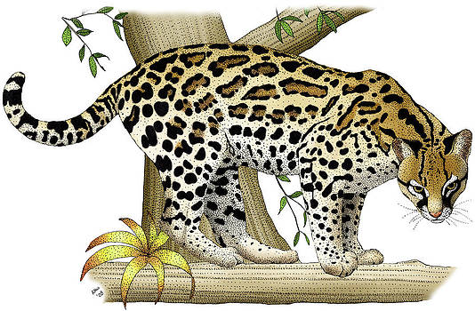 Ocelot by Roger Hall