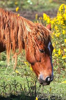 Adam Jewell - Ocracoke Pony With Yellow Flowers