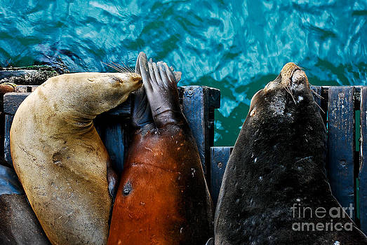 Odd Man Out California Sea Lions by Terry Garvin