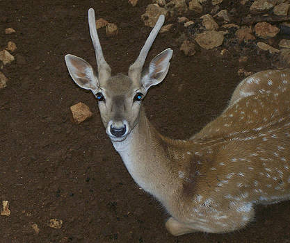 Oh Deer by Noreen HaCohen