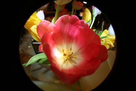 Oh Tulip by Rebecca Christine Cardenas