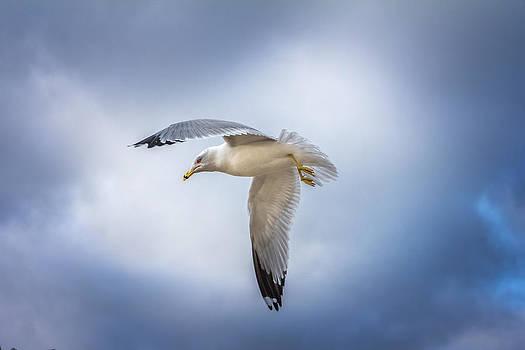 Mary Almond - Ohio River Seagull