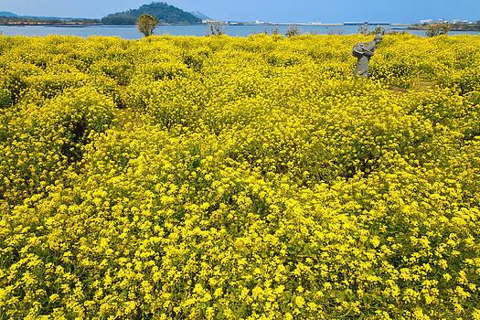 Oil flower field by Calvin Chan