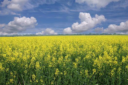 Oilseed Rape Field by Gillian Dernie
