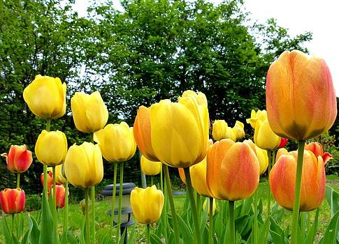 Okanagan Valley Tulips by Will Borden