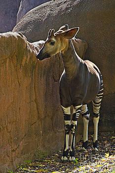 Walter Herrit - Okapi - Walter Herrit
