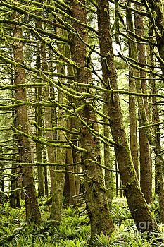 Old Growth Forest Oregon by Carrie Cranwill