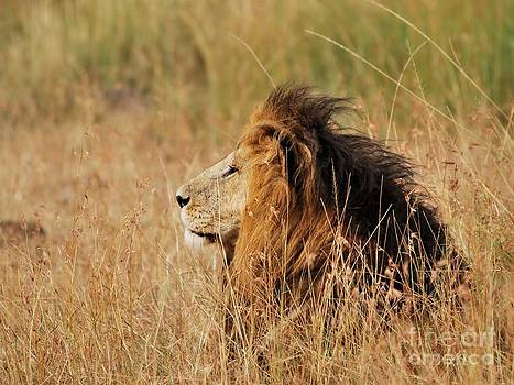 Old lion with a black mane by Alan Clifford