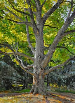 Old Maple by Scott Harding