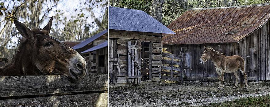 Lynn Palmer - Old Red Barnyard Mule