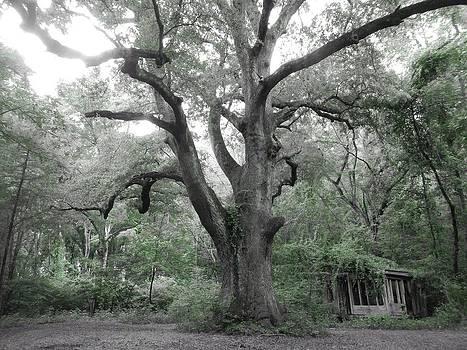Old weepy oak by Danny Smith