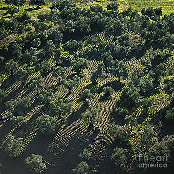 Heiko Koehrer-Wagner - Olive Farmland in Spain