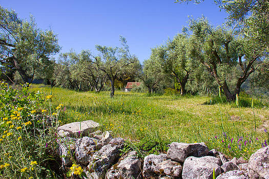 Olive Grove in Lefkada by Chris  Clark