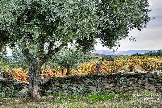 Oscar Gutierrez - Olive Tree and Vineyard