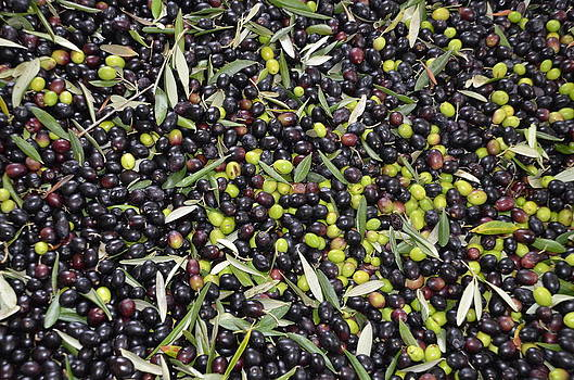 Olives harvest by Dany Lison