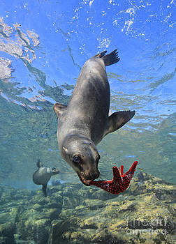 One California Sea Lion Plays With Colorful Sea Star Underwater by Brandon Cole