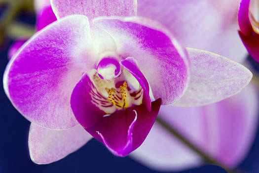 One Gorgeous Orchid by Dana Moyer