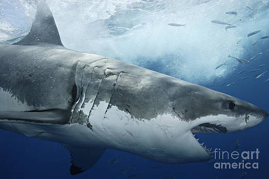 One Great White Shark With Mouth Open Swims Through Turbulent Blue Water by Brandon Cole