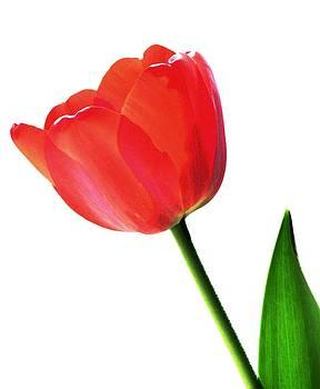Angela Davies - One Red Tulip