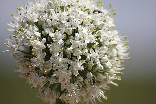 Onion Blossom by Charlotte Craig