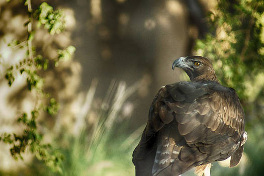 Only an eagle can be as sharp as an eagle by Munir El Kadi
